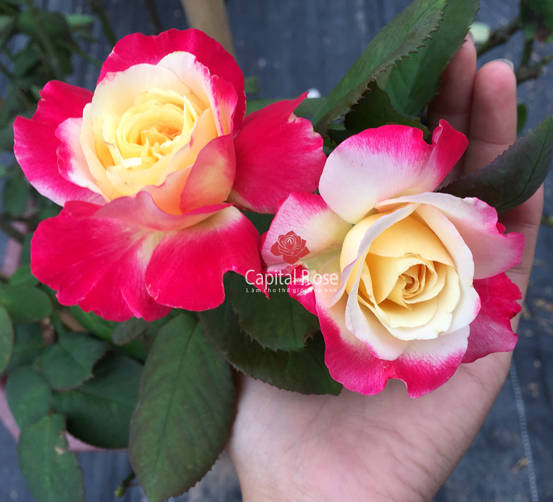 hoa hồng double delight rose