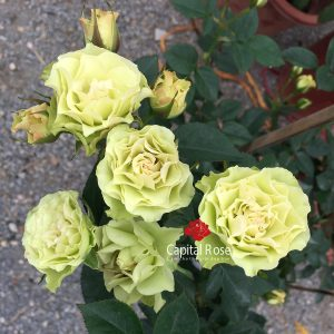 Hoa hồng Green Note rose