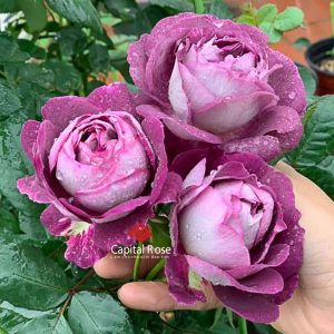Hoa hồng Hight Society rose