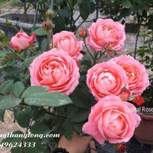 Hoa hồng ngoại La Chance rose