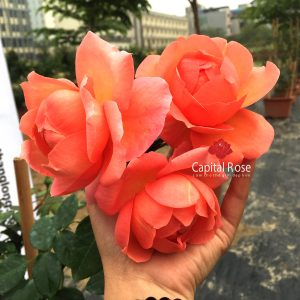 Hoa hồng haeven On Earth rose