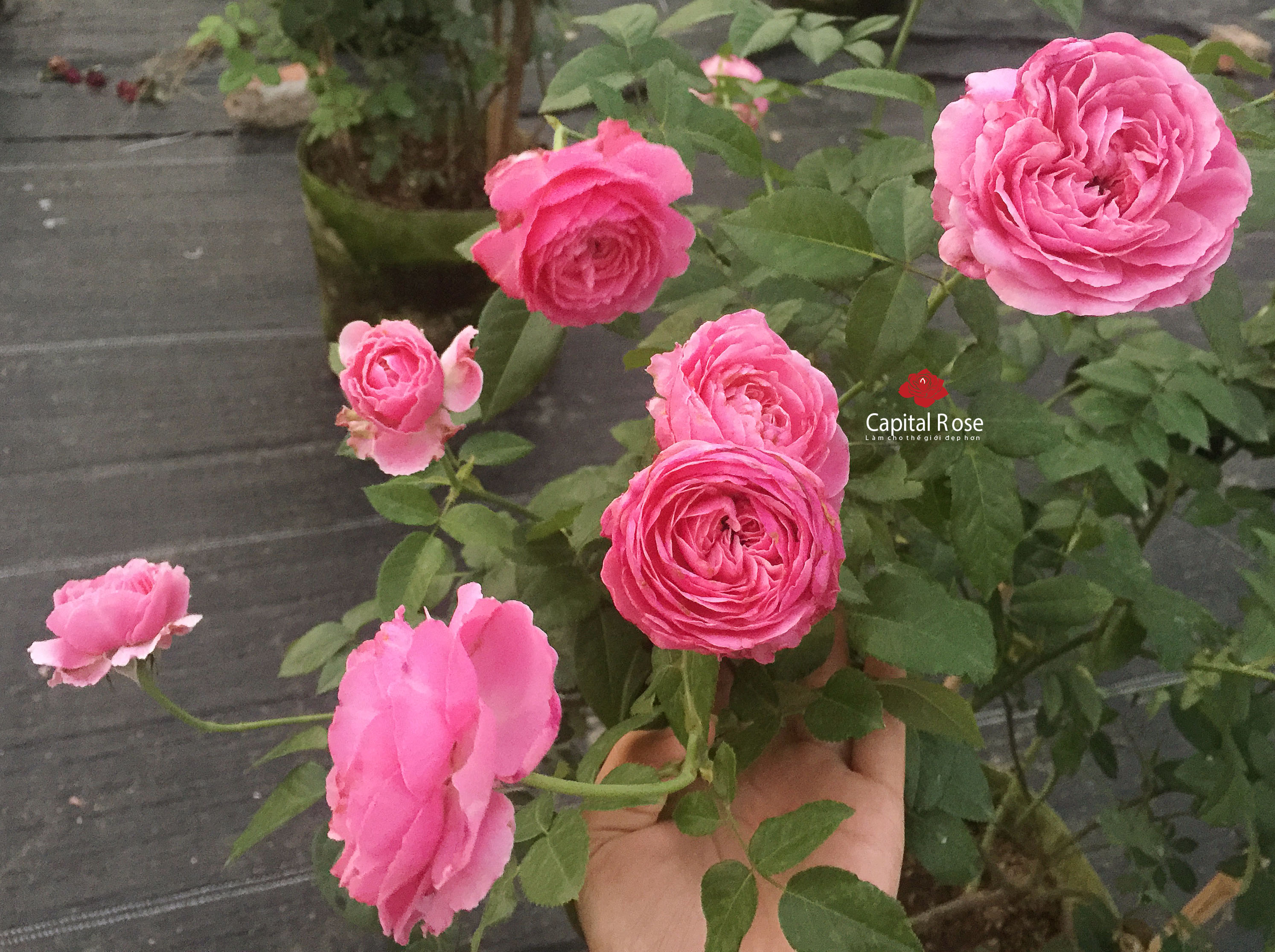 hoa hồng For Your Home rose