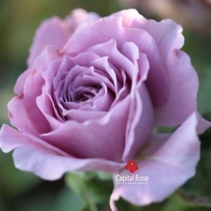 Lavender Crystal rose