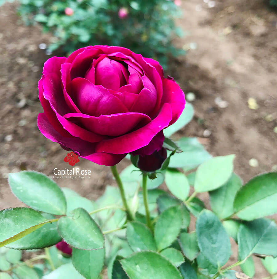The Prince rose