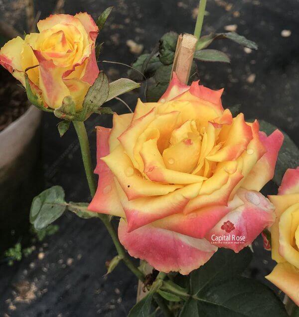 Joker rose