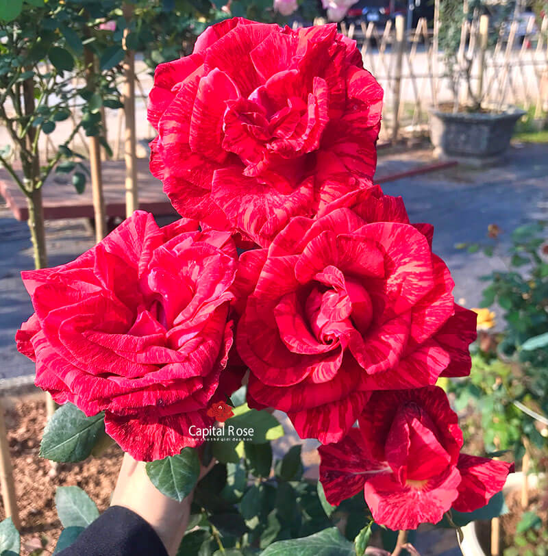 Red intuition rose
